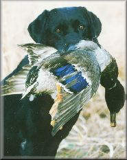 Black Lab with duck