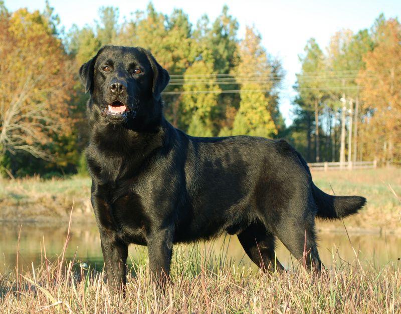 Coppertone Dog Breed