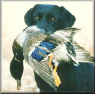 duck retrieve
